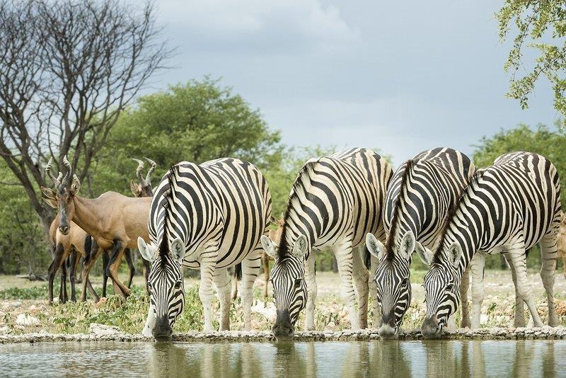 Zebras an einer Wasserstelle in Namibia - Afrika, Reisebüro Rosenheim Wagner Reisen