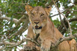 Löwe Uganda