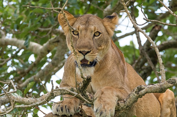 Löwin auf einem Baum und beobachtet ihre Beute , Reisebüro Rosenheim Wagner Reisen