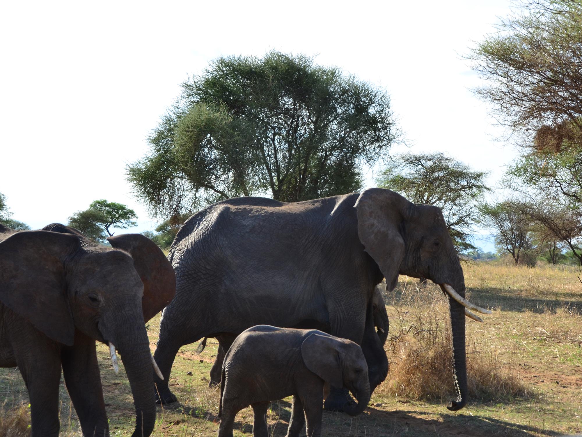 tansania-tanzania-reisebuero-rosenheim-wagner-reisen-raubling-urlaub-buchen-corona-afrika-elefanten